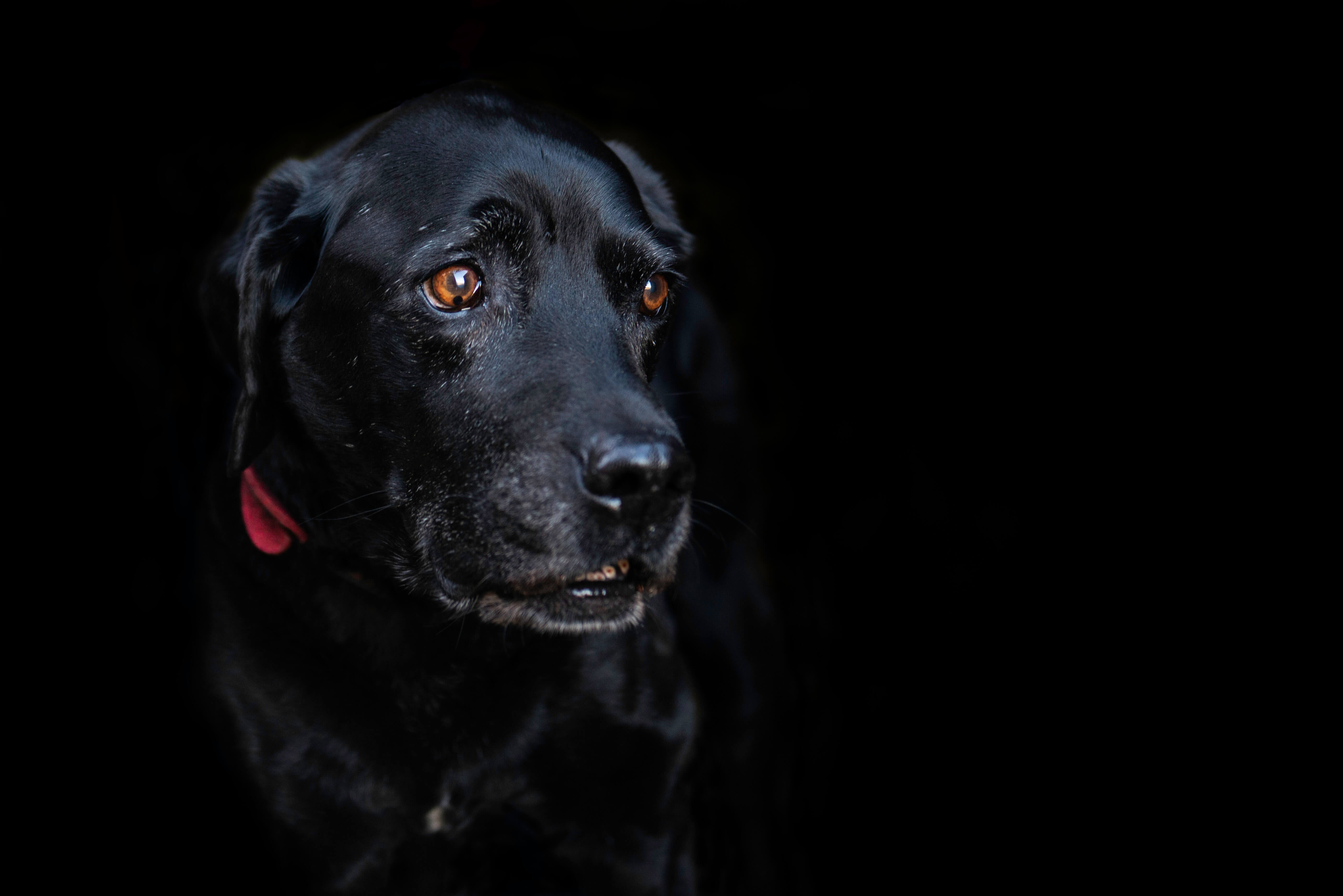 Labrador Black Background Dog Photoshoot - Jessie Lee Dog Photographer
