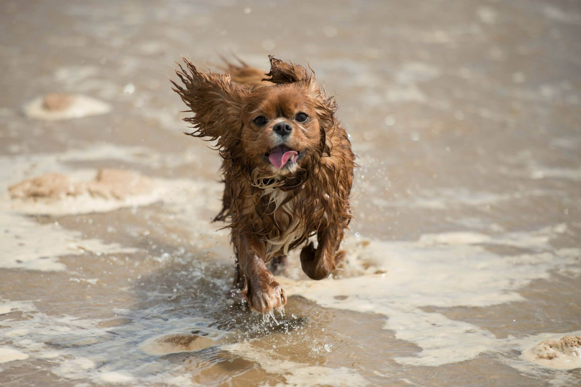 Cavalier On The Beach Photoshoot - Jessie Lee Dog Photographer