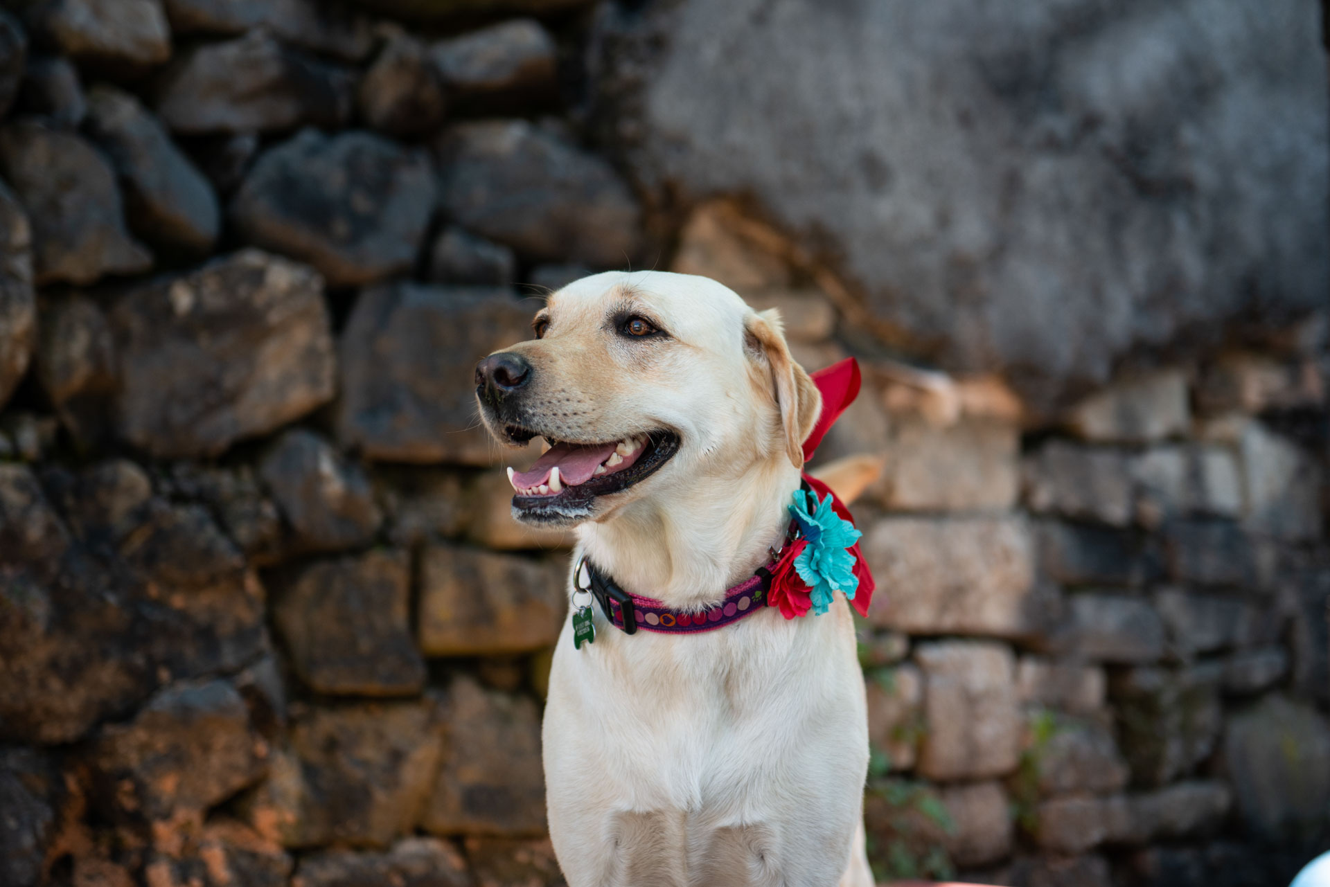Labrador Photoshoot with Jessie Lee Photography