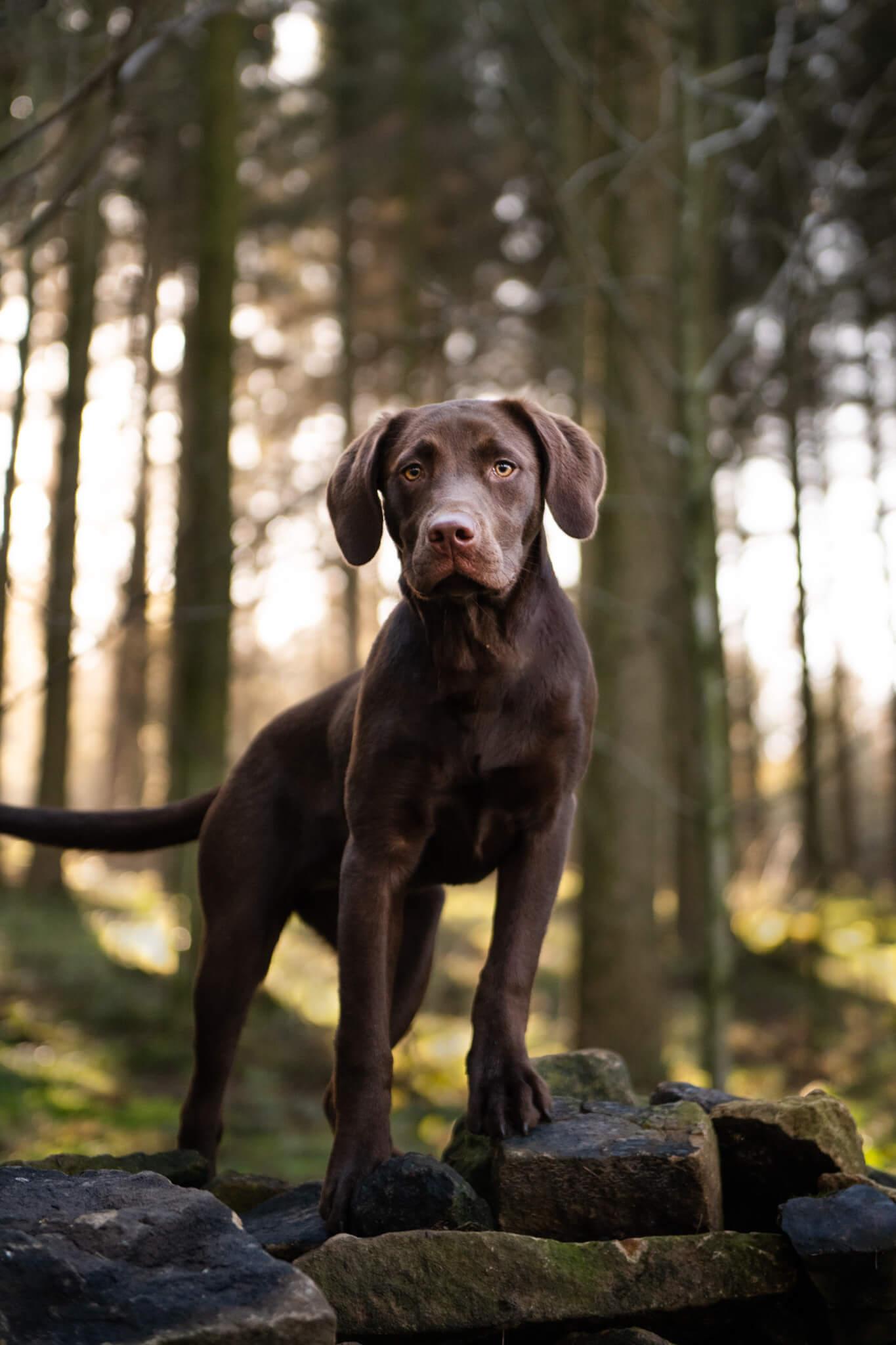 Black Labrador Photoshoot - Jessie Lee Dog Photographer