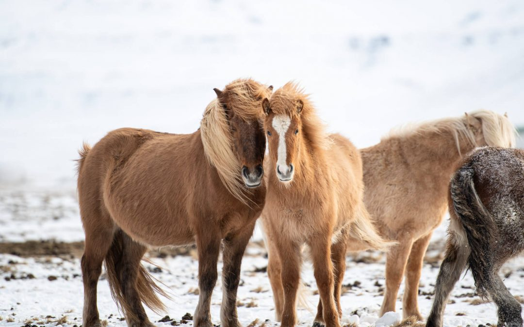 Why I left Iceland in awe of Icelandic Horses