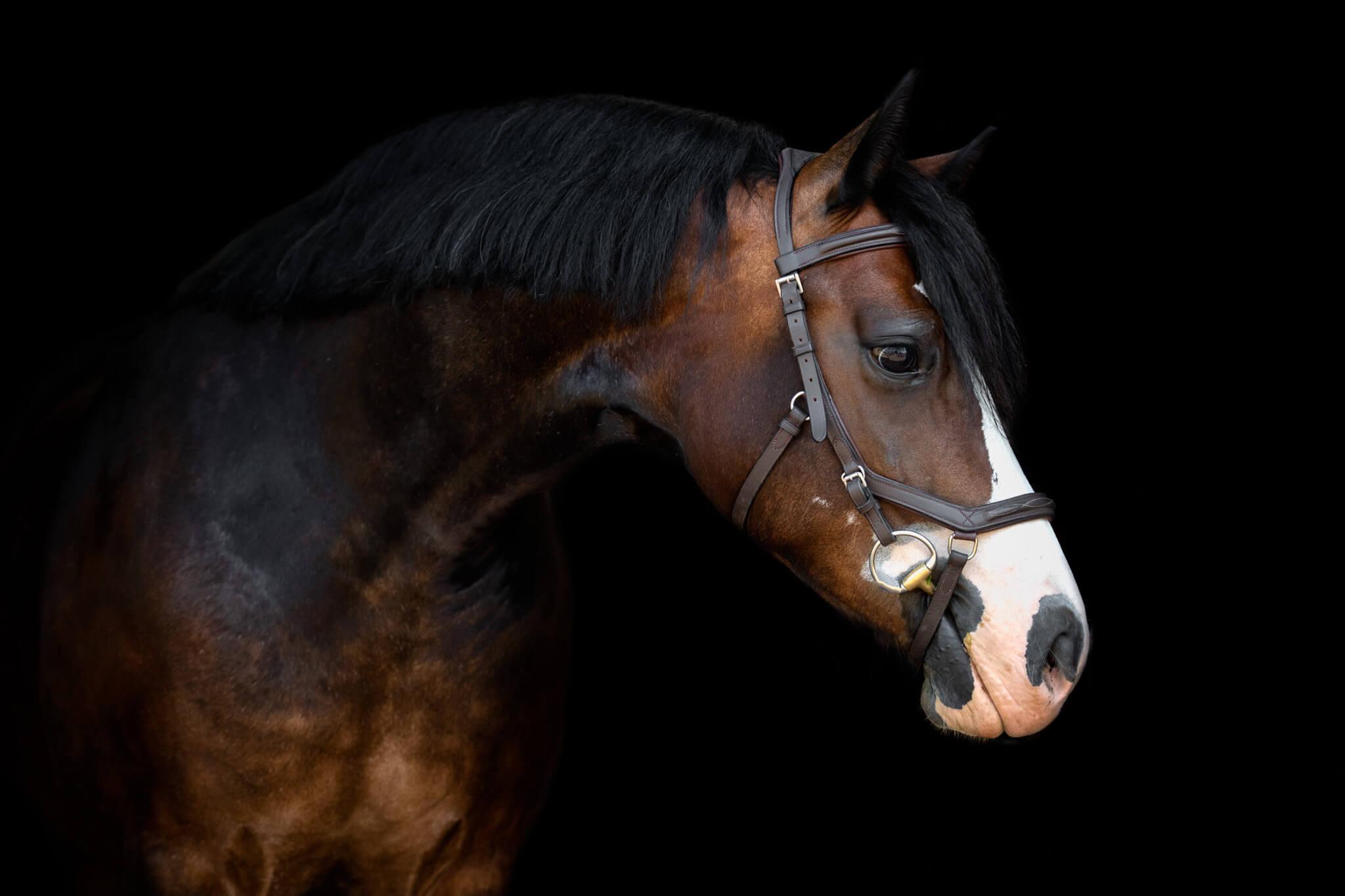 Welsh-Pony-Black-Background