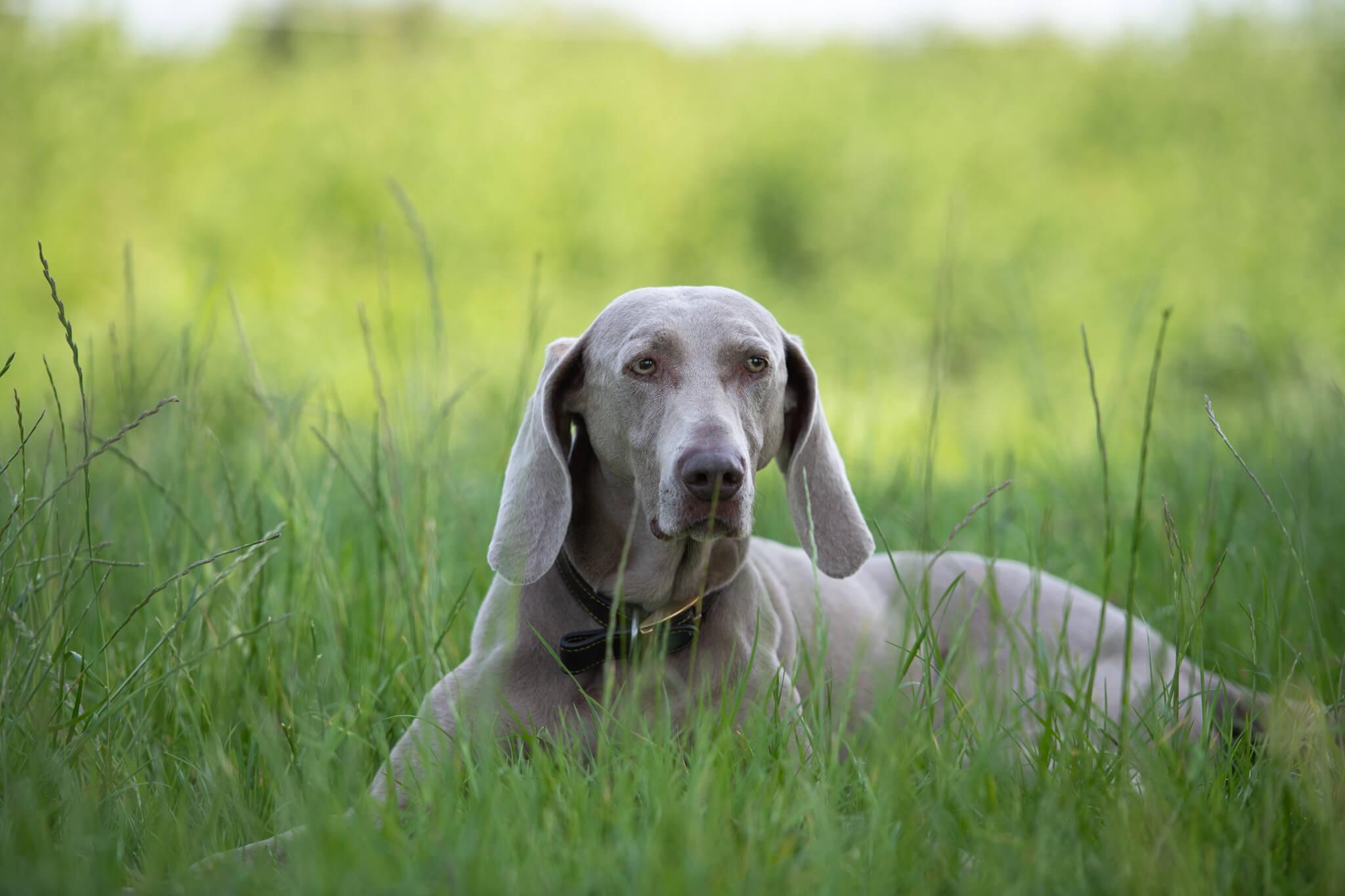 Weimaraner-Dog-Photoshoot